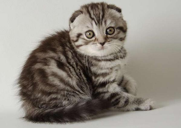 Шотландские вислоухие котята скоттиш страйт котята