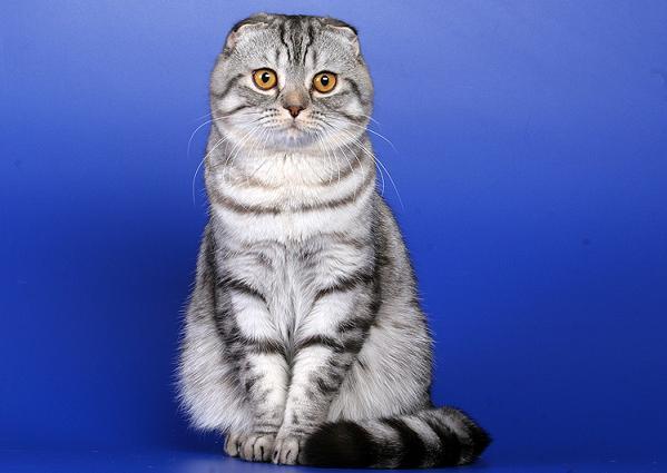 Вязка с Кандидатом в Чемпионы Мира Шотландский вислоухий кот.