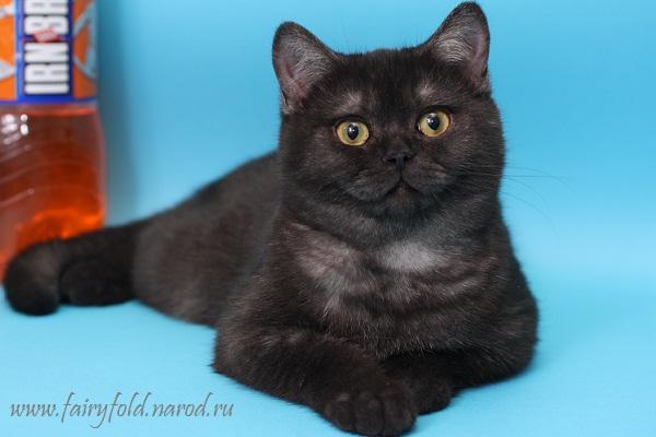 Британская короткошерстная кошка - Черный дым