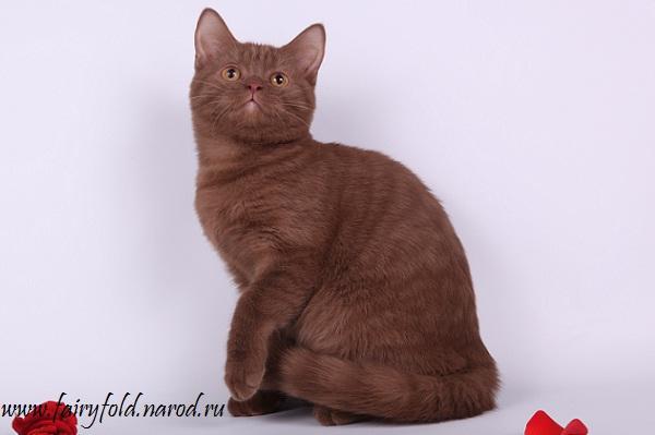 Скоттиш страйт кот - Циннамон