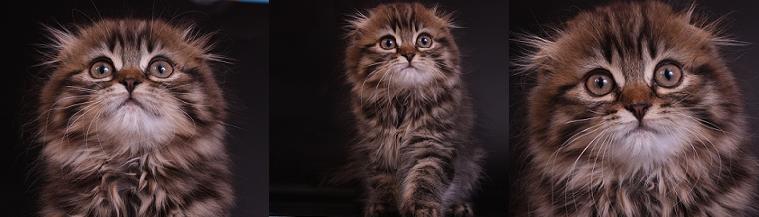 Шотландский вислоухий кот, Хайленд фолд, окрас: Черное пятно браун, Z.Emperator SuperFold