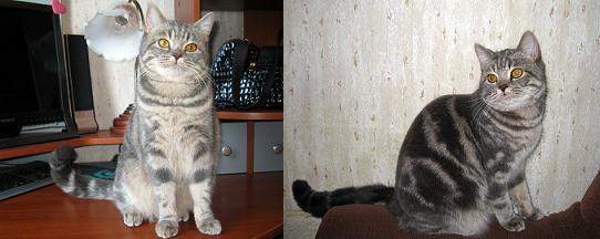 Cкоттиш страйт  Шотландская прямоухая кошка, окрас: Голубой серебристый мраморный, Z.B.Helisi SuperFold