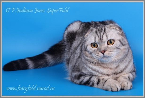 Скоттиш фолд кот - Черный мрамор на  серебре