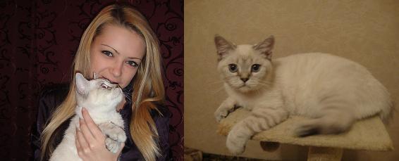 Шотландский короткошерстный кот, Скоттиш страйт, окрас: Черный серебристый тиккированный колор поинт, K.Excellent Grade SuperFold