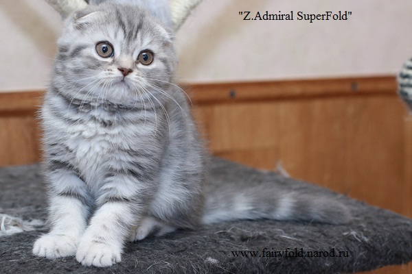 Шотландский вислоухий кот, Скоттиш фолд, окрас: Голубой мрамор, Z.Admiral SuperFold