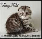 SuperFold.RU Питомник шотландских вислоухих и Британских короткошерстных кошек