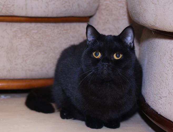 Шотландская кошка черный дым