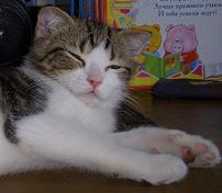 Скоттиш Шотландский кот, окрас: Черный мраморный браун с белым, Y.Frenses SuperFold