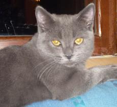 Скоттиш страйт  Шотландский прямоухий кот, окрас: Голубой, Z.B.Germes SuperFold