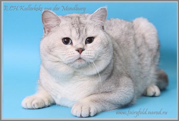 Котята питомника шотландских кошек jingle sb stars