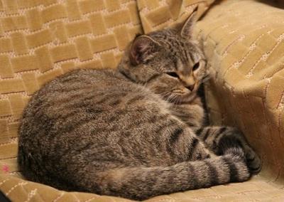 Шотландская страйт кошка, Скоттиш страйт, окрас: Черное пятно Лили