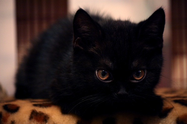 Шотландский короткошерстный кот, Скоттиш страйт, окрас: Черный, Z.Ser Adams SuperFold