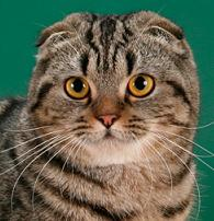 Скоттиш фолд, Шотландская вислоухая кошка, окрас: Черный мрамор, СH.Roxy SuperFold