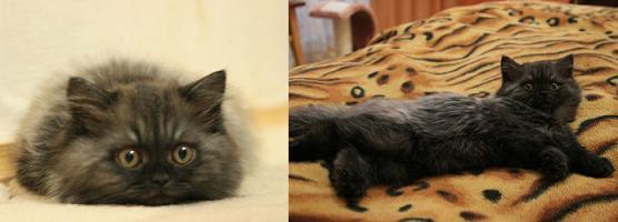 Хайленд страйт  Шотландская прямоухая полудлиношерстная страйт кошка, окрас: Черный дым, Z.Torri SuperFold